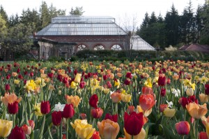 The conservatory serves as a beautiful backdrop for thousands of tulips each spring during Festival of Flowers.