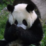 Where to find giant pandas in the USA  (USAToday.com, Sept. 19, 2014 )