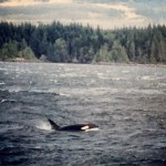 Getting Wild On North Vancouver Island – Whales! (GirlsGetaway.com, January 2014)