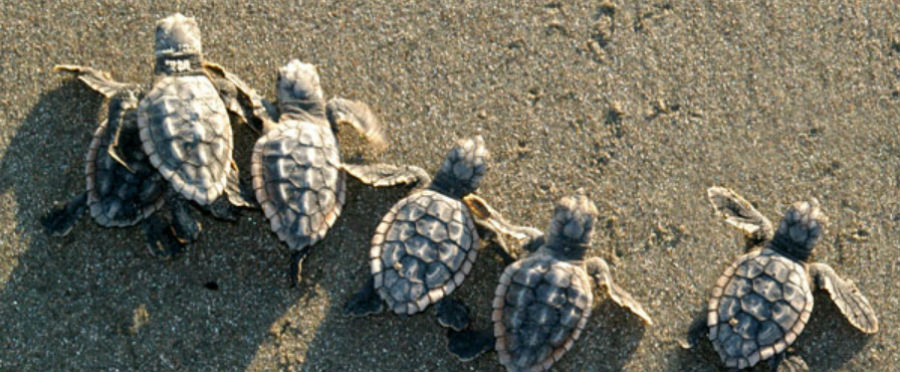 sea turtle hatchlings_COVER